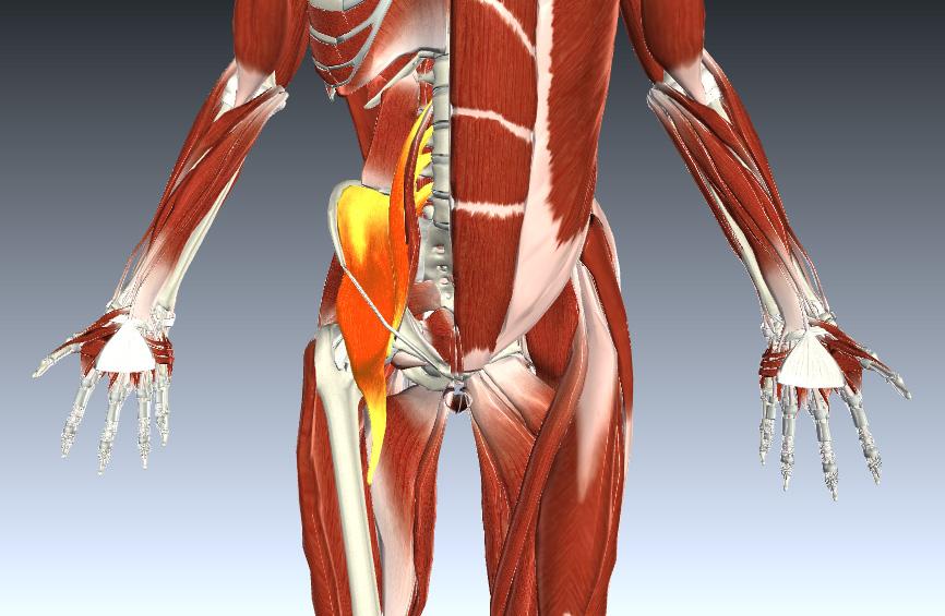 הדמיה של שרירי המותן כסל, Iliopsoas, המחברים בין עצם הירך הקדמית, האגן וחוליות הגב התחתון