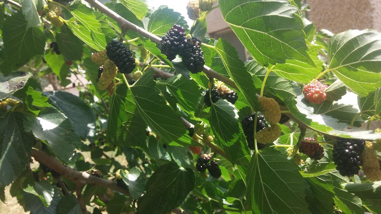 תותי עץ שחורים. עשירים במינרלים, ויטמינים, חלבונים ואנטיאוקסידנטים