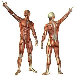 מערכת השריר-שלד בנויה שכבות המשפיעות אחת על השניה